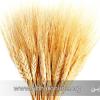 63 هزار تن گندم در سال جاری در ابهر برداشت شد