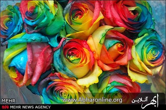 رزهای رنگینکمانی اختراع زوج ایرانی +عکس