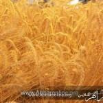 ابهر تولید کننده 36درصد از گندم آبی استان زنجان است