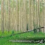 صنوبرهای استان زنجان بیمه میشوند
